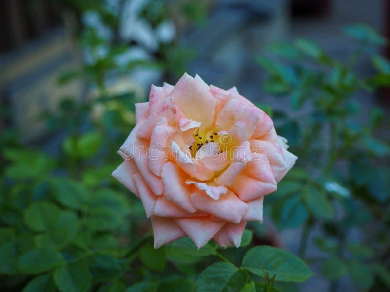 Gelbliche rosa rosafarbene Blume mit grünen Blättern der Unschärfe auf Hintergrund stockfotografie