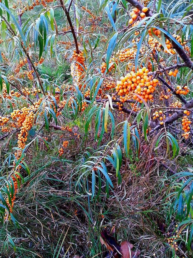 Gelblicher Dorn mit den reifen orange Beeren, die im Norden von Deutschland wachsen lizenzfreie stockfotos