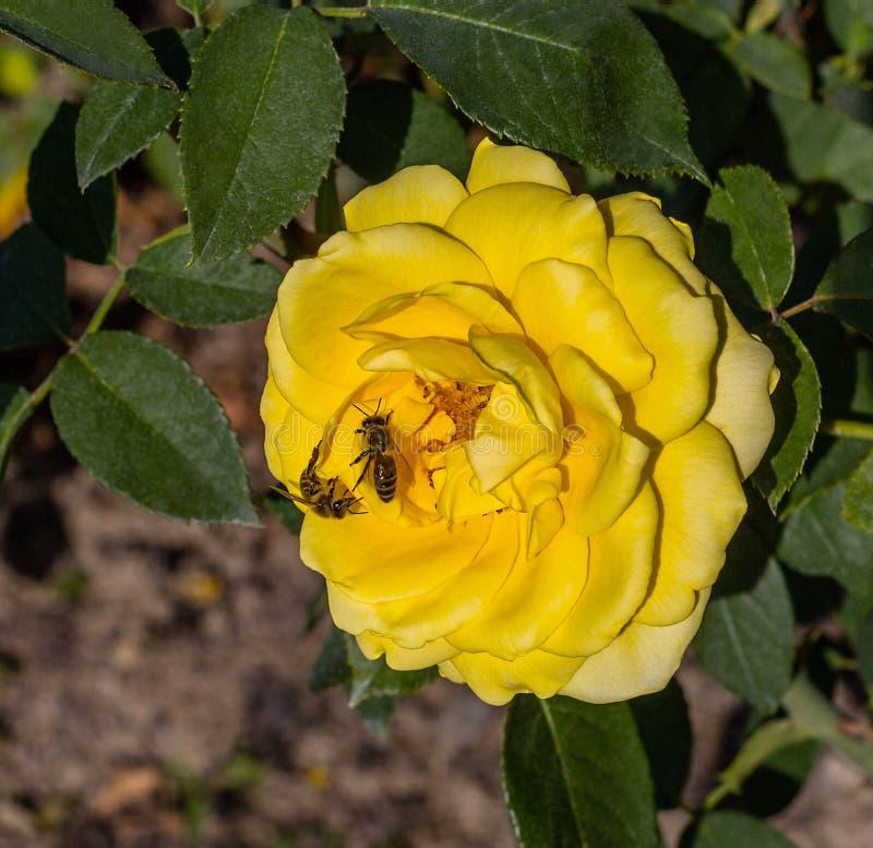 Gelbrose und zwei Honigbienen Blume und Biene Abschluss oben stockfoto