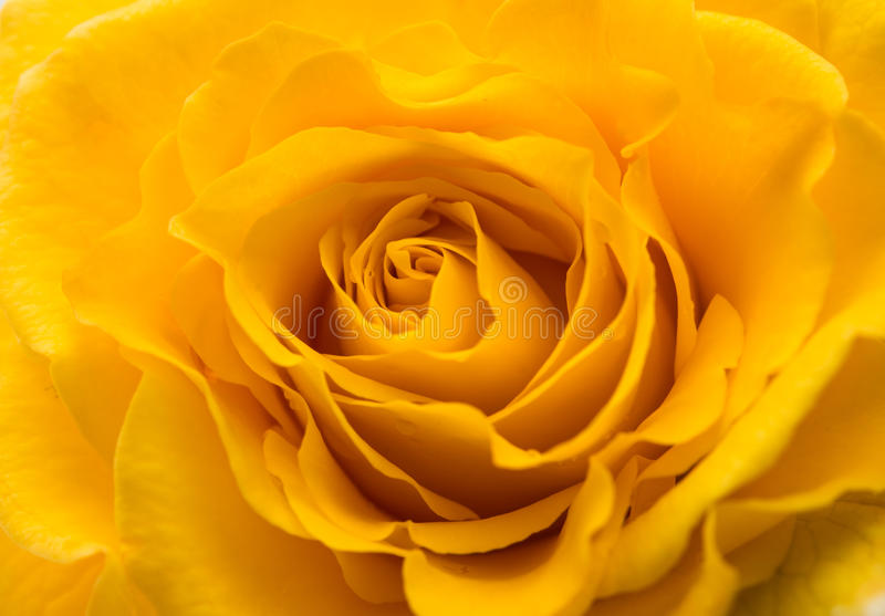 Gelbrosenblume als nah oben stockfotos