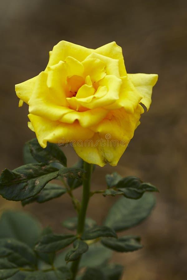 Gelbrosenblume im Garten stockfotografie