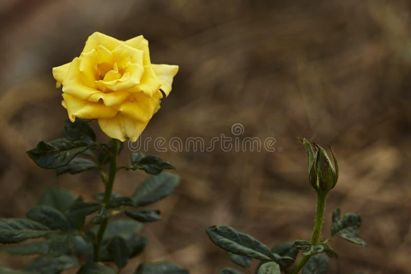 Gelbrosenblume im Garten stockfoto