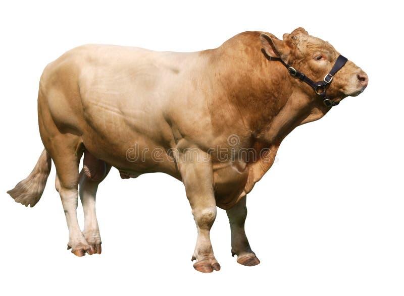 gelbvieh быка большое стоковое фото