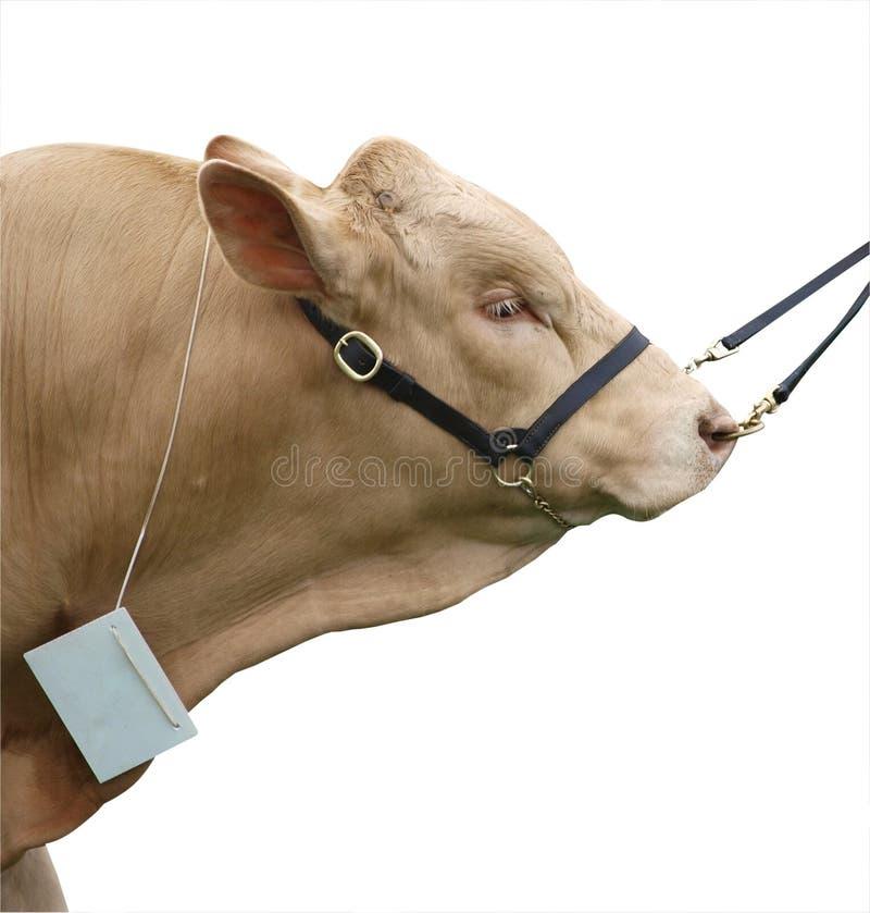 Gelbvieh Bull lizenzfreie stockbilder