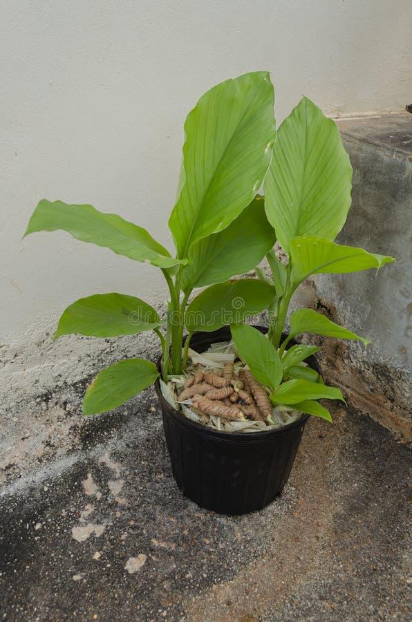 Gelbwurz-Anlage und Rhizome im Blumentopf stockfoto