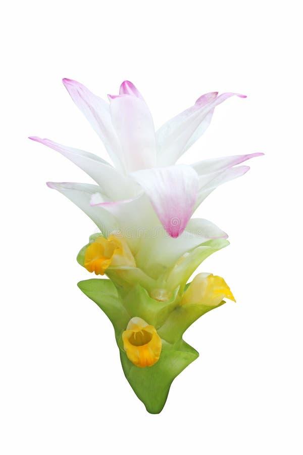 Gelbwurz-Blume lizenzfreie stockbilder