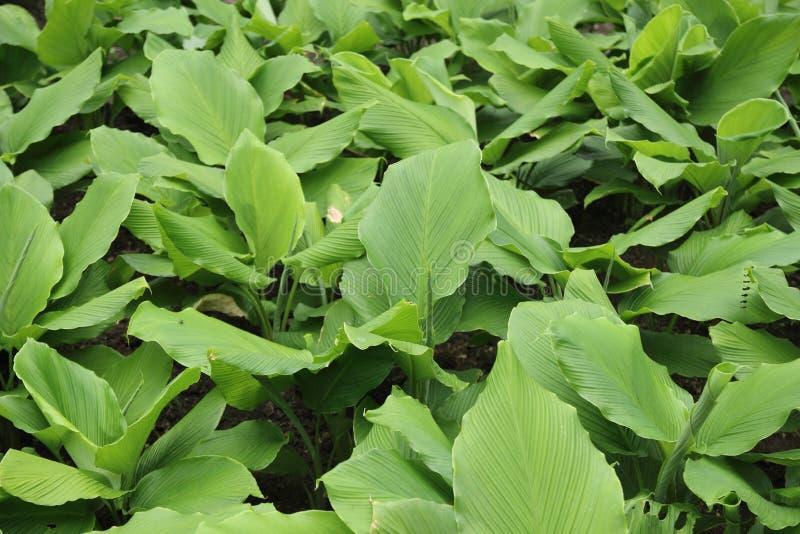 Gelbwurzblätter gewachsen auf dem Bauernhof stockfotografie