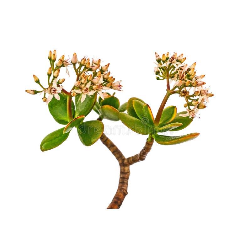 Geldbaum, Crassula ovata, Jadeanlage, Freundschaftsbaum, glückliches p vektor abbildung