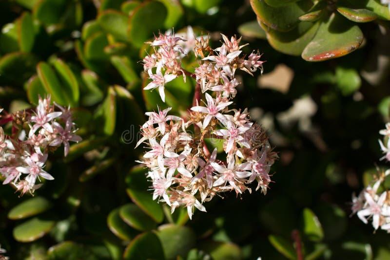 Geldbaum mit rosa Blumen Crassula ovata Mauerpfeffer, saftig lizenzfreie stockbilder