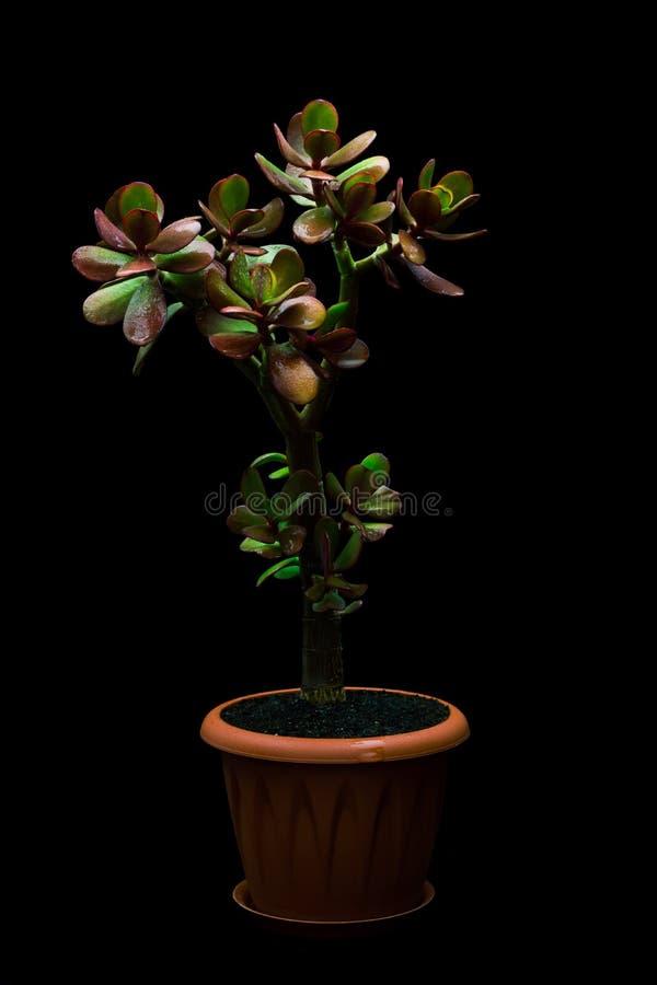 Geldbaum oder Crassula ovata auf schwarzem Hintergrund stockfoto