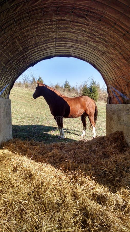 Gelding at shelter royalty free stock photo
