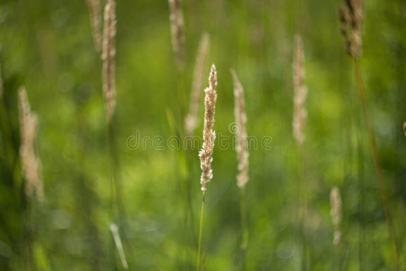 Gele aar op natuurlijke groene achtergrond Sluit omhoog mooi gebiedsgras Anthoxanthum stock foto