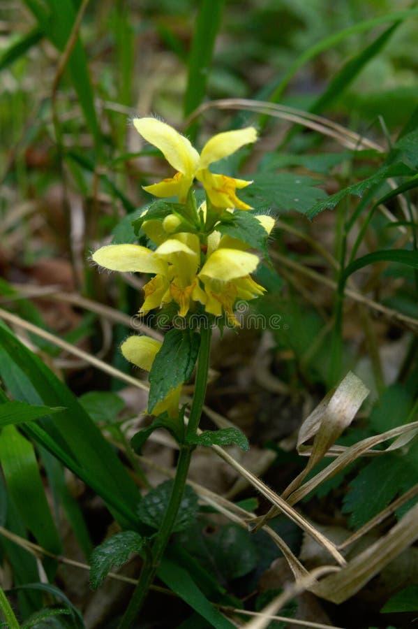 Gele aartsengel wilde bloem stock foto