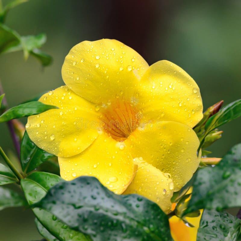 Gele Alamanda-bloem met waterdalingen na regen stock foto