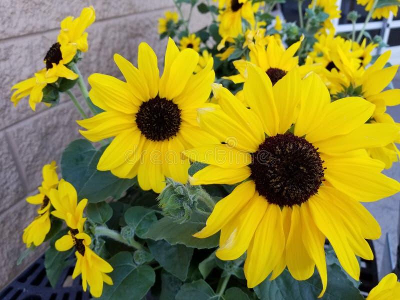 Gele alerte zonnebloemen stock foto