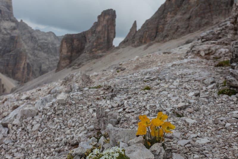 Gele alpinum van de papaverpapaver met onscherp dolomitcdolomiet als achtergrond royalty-vrije stock foto's