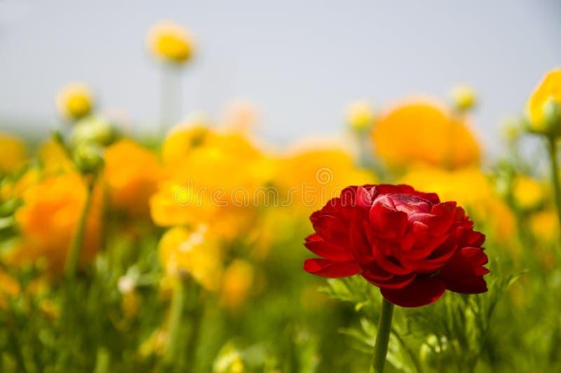 Gele & Rode Ranunculus stock fotografie