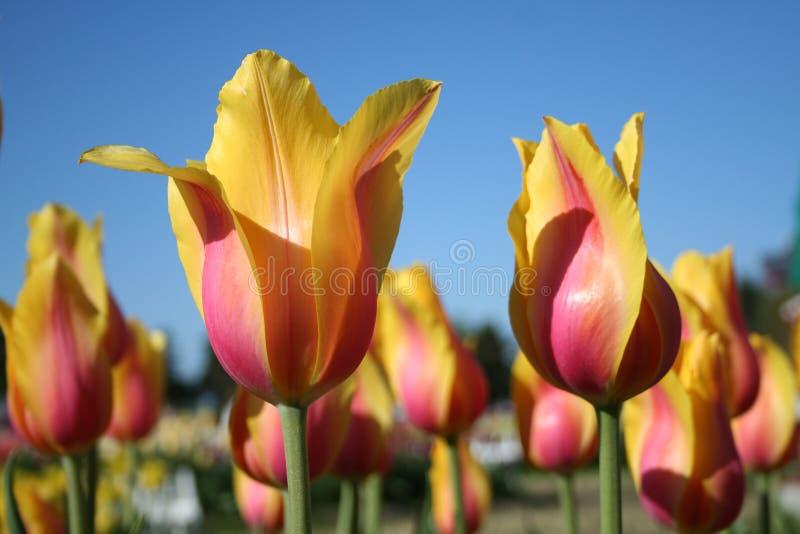 Gele & Roze in de schaduw gestelde Tulpen stock foto's