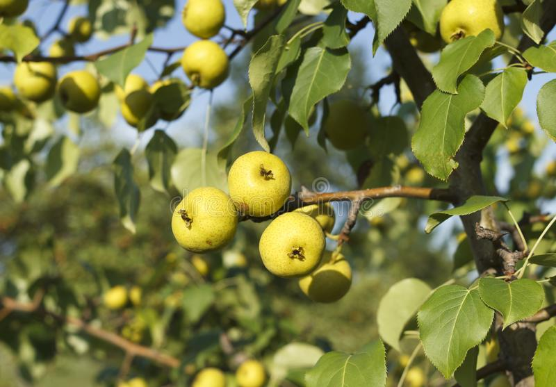 Gele appels op boomkwekerijen stock afbeeldingen