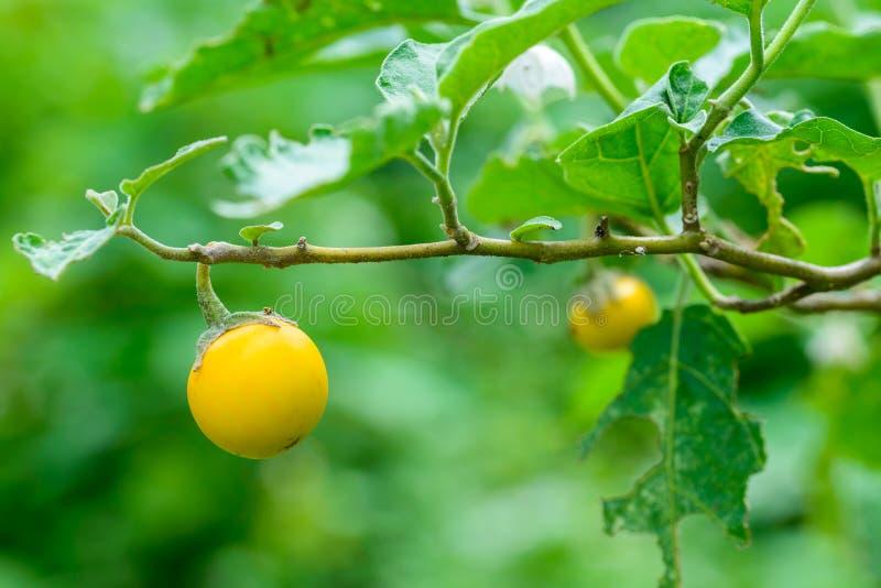 Gele aubergines (Nachtschadeaculeatissimum Jacq ) in tuin royalty-vrije stock afbeeldingen