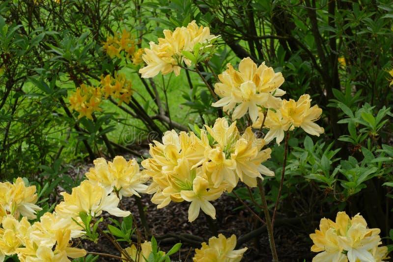 Gele azalea royalty-vrije stock foto's