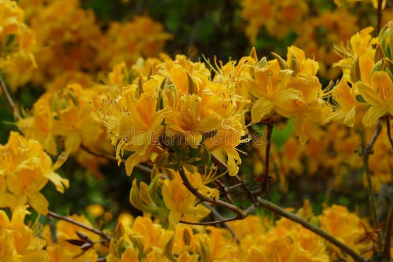 Gele azalea royalty-vrije stock foto