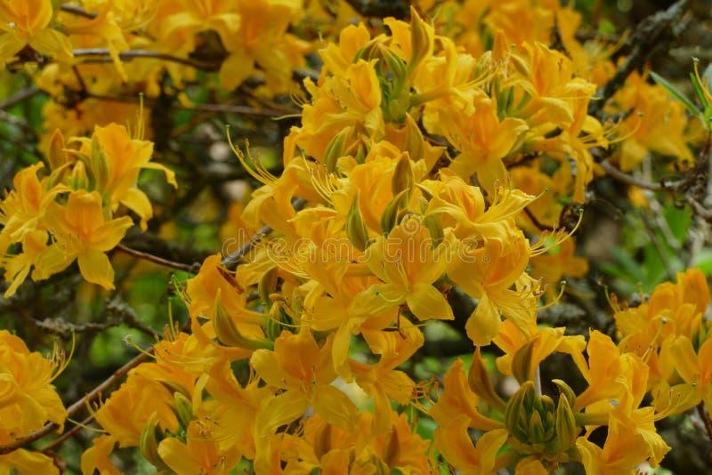 Gele azalea royalty-vrije stock afbeelding