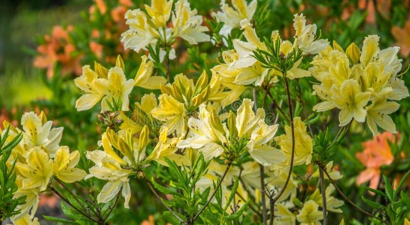 Gele Azalea, Rododendron molle, struik die in de lente bloeien stock afbeelding