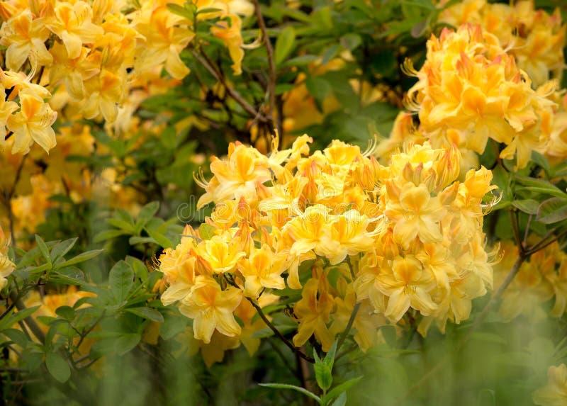 Gele azalea, Rododendronstruik in bloesem royalty-vrije stock foto