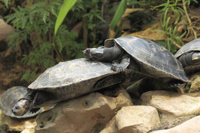 Gele bevlekte Amazonië schildpad stock afbeeldingen