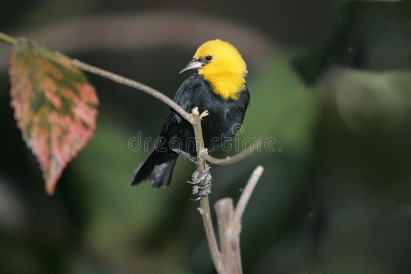 Gele blacbird met een kap royalty-vrije stock foto's