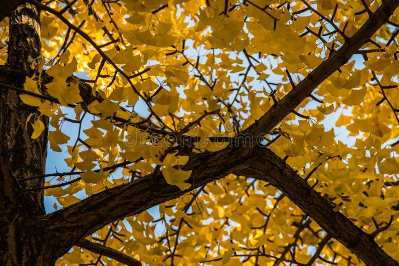 Gele bladeren bij het kasteel van Osaka, Osaka royalty-vrije stock afbeeldingen