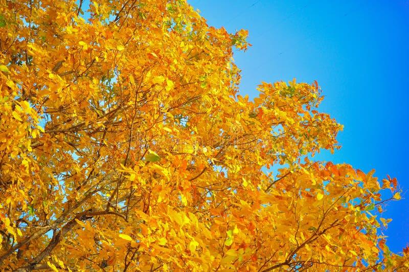 Gele bladeren en blauwe hemel royalty-vrije stock foto