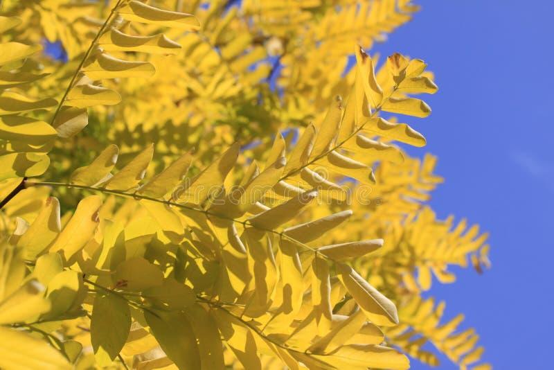 Gele bladeren en blauwe hemel stock foto's