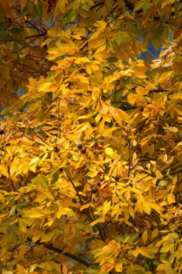 Gele bladeren op de boom De herfst natuurlijke achtergrond stock afbeelding
