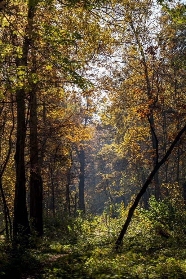 Gele bladeren op een blauwe hemelachtergrond op een zonnige de herfstdag Zonlicht door de bomen in het bos in de herfst royalty-vrije stock foto's