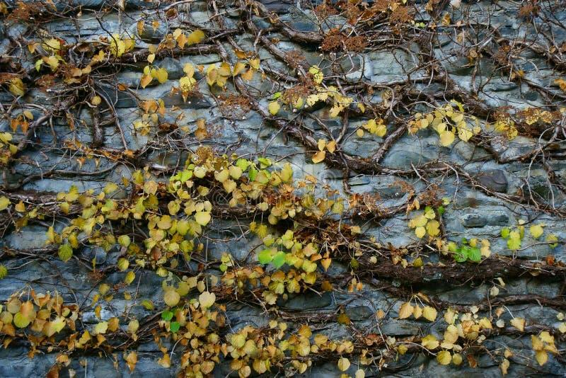 Gele bladeren over grijze steenmuur royalty-vrije stock foto
