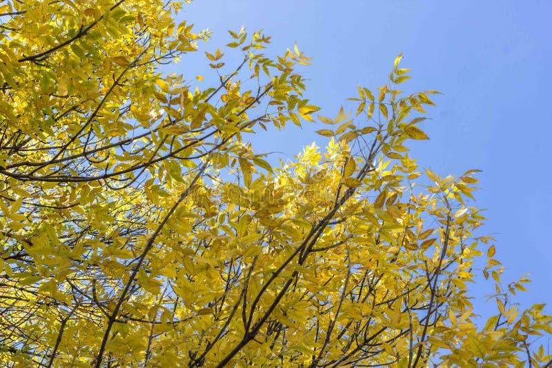 Gele bladeren tegen de blauwe hemel royalty-vrije stock fotografie