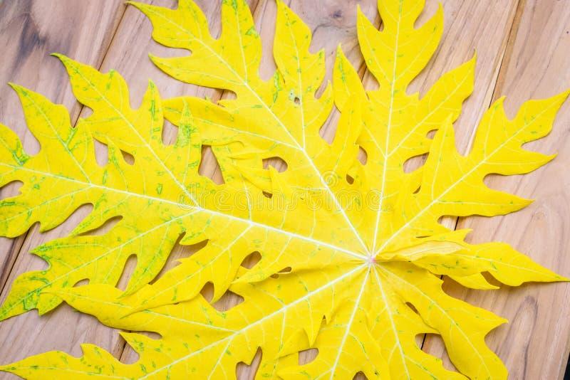 Gele bladeren van papaja stock foto