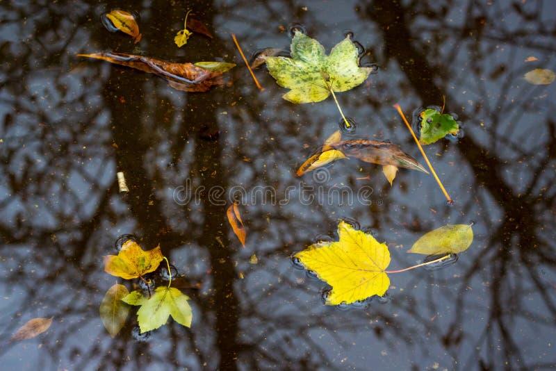 Gele bladerenvlotter in de vulklei tijdens de regen in fall_ royalty-vrije stock afbeeldingen
