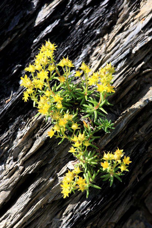 Gele bloeiende bergsteenbreek in Zwitserland royalty-vrije stock fotografie