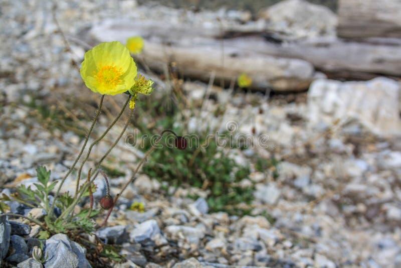 Gele bloeiende papaverbloem op de achtergrond van stenen stock foto's