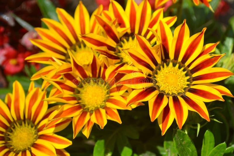 gele bloem, aard, tuin, sinaasappel, de groene zomer, installatie, bloemen, bloei, flora, zonnebloem, madeliefje, macro, geweven  royalty-vrije stock afbeeldingen