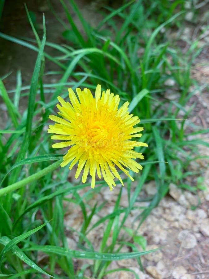 Gele bloem bij de weg royalty-vrije stock foto's