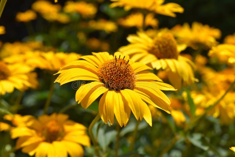 Gele bloem, Coneflower, Flora stock foto