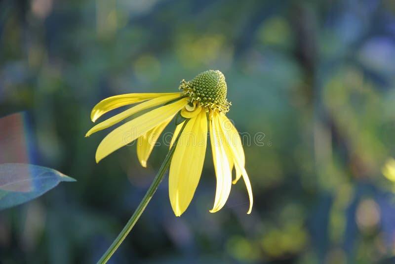 Gele bloem coneflower Rudbeckia stock afbeelding