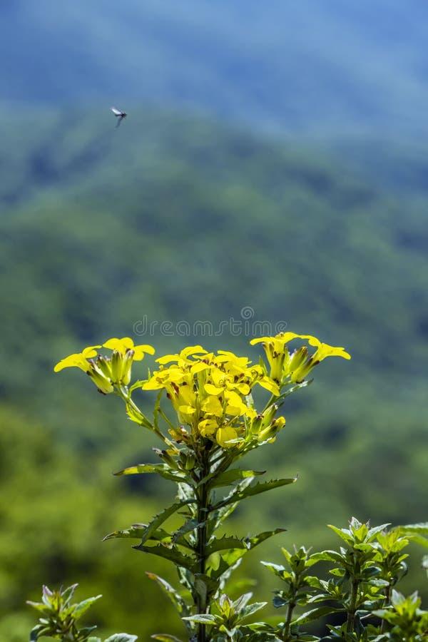 Gele bloem, de heuvel van Vapenna - Rostun-, de Kleine Karpaten, Slowakije stock foto