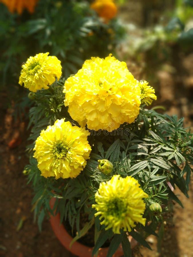 Gele bloem in de tuin royalty-vrije stock afbeeldingen