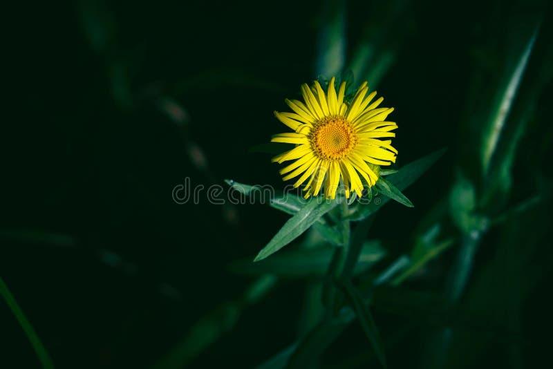 Gele bloem in de zonstraal op donkere achtergrond Griekse alantinula royalty-vrije stock fotografie