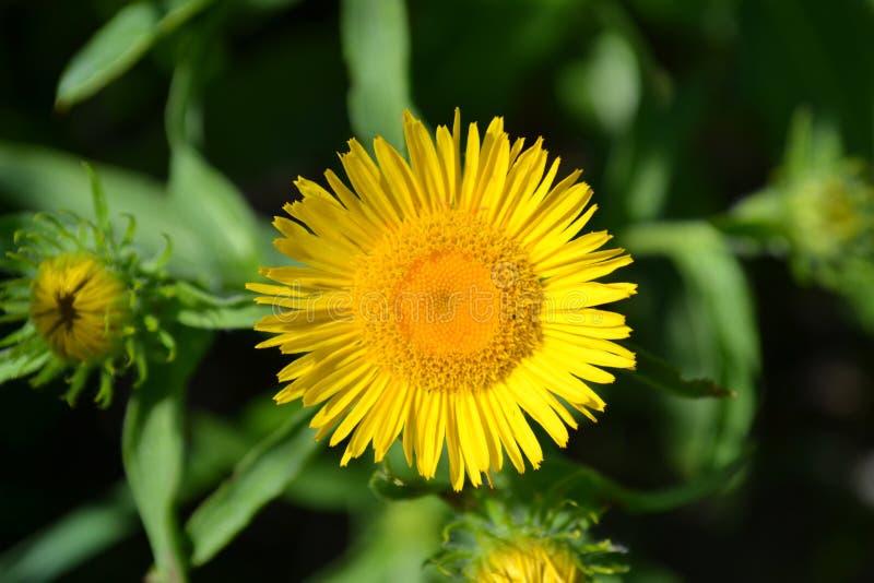 Gele bloem dichtbij de macro royalty-vrije stock afbeelding